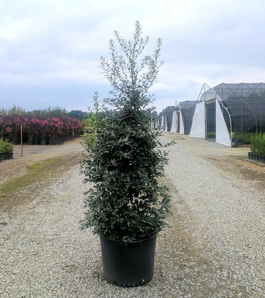 christmas jewel holly pp14477ilex x initially we thought this plant was going to be a really slow grower but later crops have shown us otherwise and we